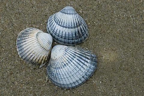 Cockles (Cardiidae) on the beach, East Frisia, Wadden Sea, Netherlands, Europe
