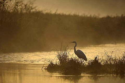 Great Egret (Egretta alba) in the first sunlight, Schoenau an der Donau, Lower Austria, Austria, Europe