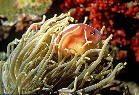 Pink Anemonefish (Amphiprion perideraion), Sea Anemone, symbiosis, underwater photograph, Indian Ocean - 832-173