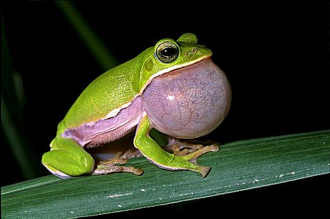 Tree frog (Rhacophorus arvalis), inflated vocal sac, courtship, endangered species, Taiwan, Asia