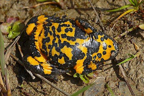 Yellow-bellied toad (Bombina variegata)