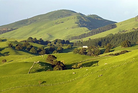Green rolling farmland near Masterton, Wellington in the southern part of the North Island of New Zealand