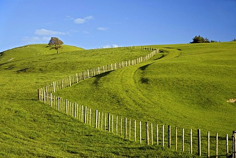 Green rolling farmland, a tree and a fence near Masterton, Wellington in the southern part of the North Island of New Zealand