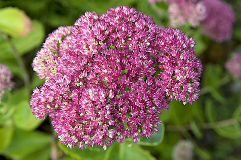 Orpine, Livelong, Frog's-stomach, Harping Johnny, Life-everlasting, Live-forever, Midsummer-men, Orphan John, or Witch's Moneybags (Sedum telephium)