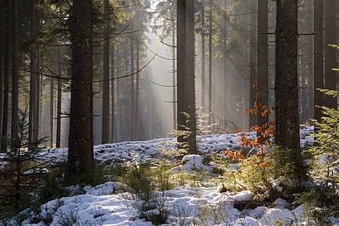 Fir forest in back light, Bayerisch Eisenstein, Bavarian Forest, Bavaria, Germany, Europe