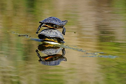 Red-eared Slider Turtle (Trachemys scripta elegans) sunbathing, Stuttgart, Baden-Wuerttemberg, Germany, Europe