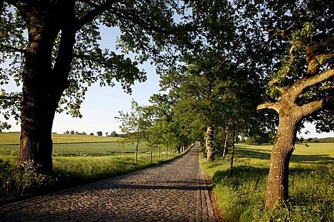 Country road, avenue, part of the Deutsche Alleenstrasse German Avenue Road, between Granitz and Putbus, Ruegen island, Mecklenburg-Western Pomerania, Germany, Europe