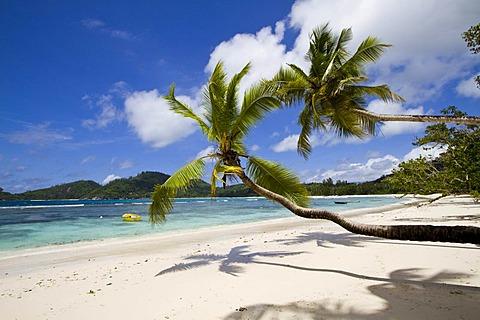 Coconut palm trees (Cocos nucifera) on beach, Baie Lazare, island of Mahe, Seychelles, Africa, Indian Ocean