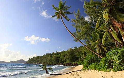 Coconut palm (Cocos nucifera) on Anse Takamaka beach, Mahe island, Seychelles, Africa, Indian Ocean