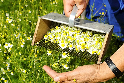 Chamomile rake, herb farm, Pflegerhof farm, Castelrotto, South Tyrol, Italy, Europe