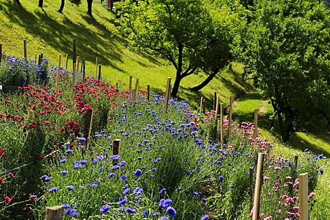 Cornflowers, herb farm, Pflegerhof farm, Castelrotto, South Tyrol, Italy, Europe