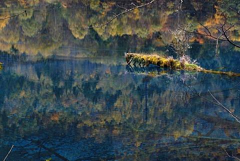 Tree on a small island, autumn mood at the Five Colour Lake in which dead trees are lying, Jiuzhaigou Valley, Jiuzhaigou National Park, Sichuan, China, Asia