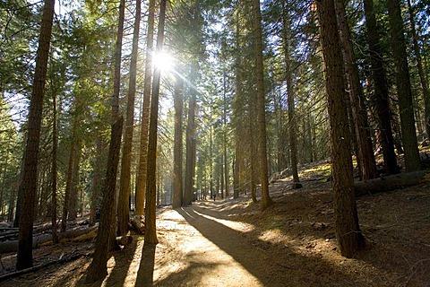 Conifer forest, Yosemite National Park, California, United States of America