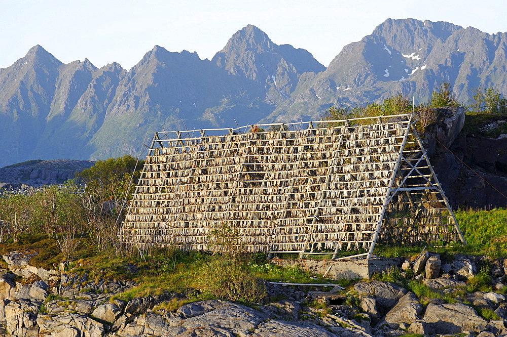 Drying rack for stockfish, Svolvaer, Norway, Scandinavia, Europe