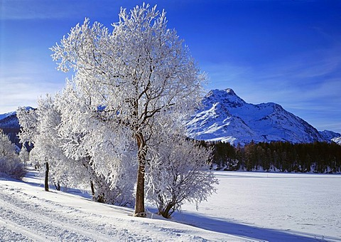 Hoarfrost near Sils in the Engadin valley, Canton of Grisons, Switzerland, Europe