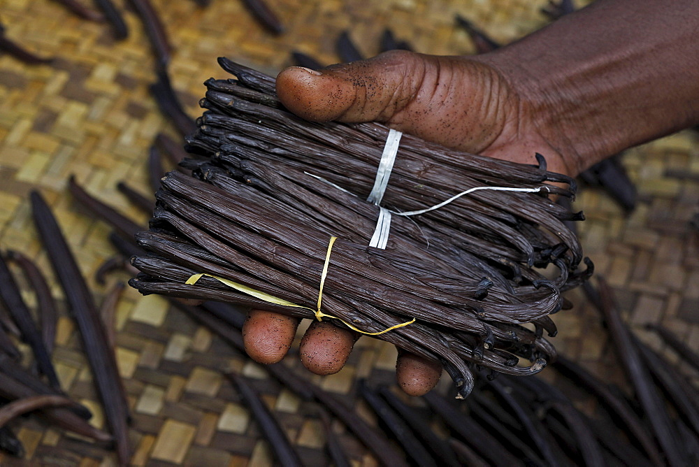 Vanilla capsules (Vanilla planifolia), Manakara, East Coast, Madagascar, Africa
