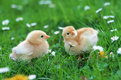 Domestic Fowl, chicks