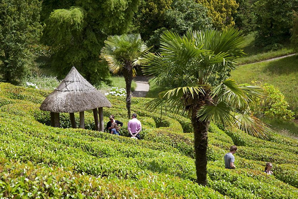 Palm tree in the maze, Glendurgan Garden, Falmouth, Cornwall, England, United Kingdom, Europe