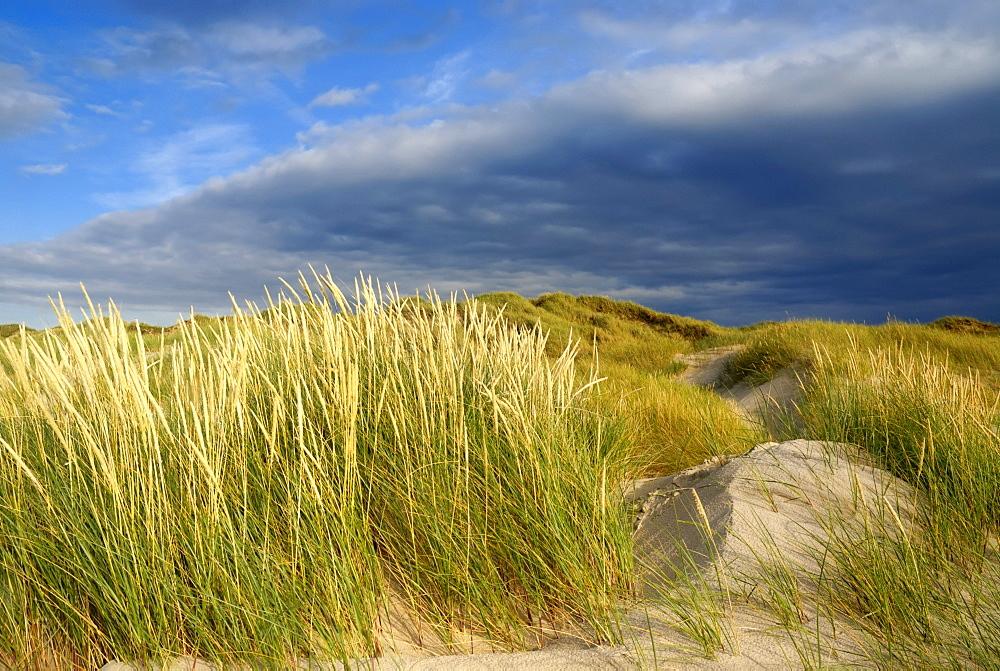 Dunes in the evening light, white dune with Marram grass (Ammophila arenaria) in the foreground, dunes at Roedhus, North Jutland, Denmark, Scandinavia, Europe
