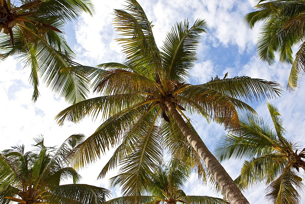 Coconut plams from below, Zanzibar, Tanzania, Africa