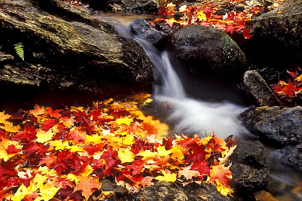 Autumn leaves in a stream in the Parc National de la Gatineau, National Park near Ottawa, Canada