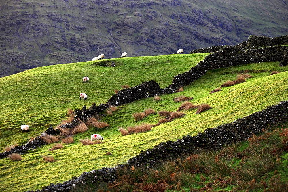 Stone wall fences and grazing sheep, landscape, Republic of Ireland, Europe