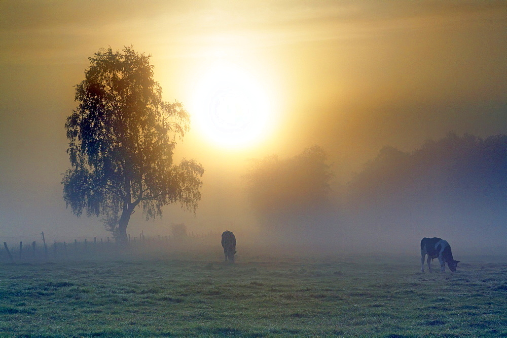Meadow landscape, cows grazing in the morning mist at sunrise, Oberalsterniederung Nature Reserve, Schleswig-Holstein, Germany, Europe