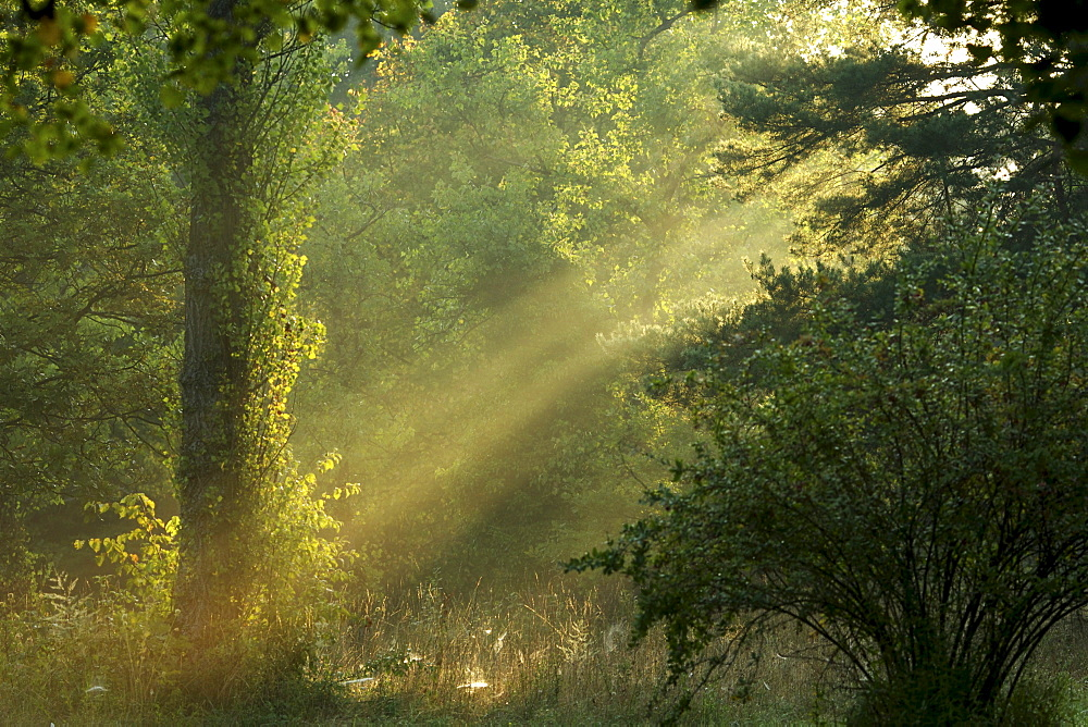 Morning mood in a forest, Germany, Europe
