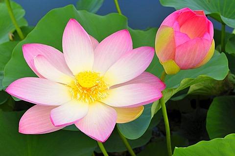 Indian Lotus blossoms (Nelumbo nucifera)