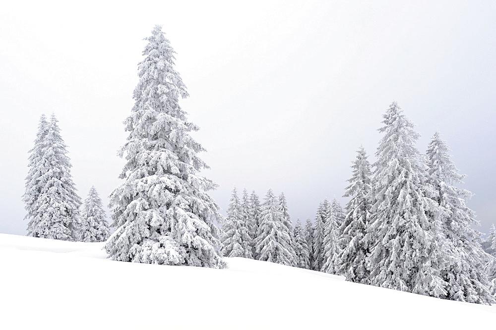 Snow-covered fir trees, Feldberggebiet, southern Black Forest, Baden-Wuerttemberg, Germany, Europe