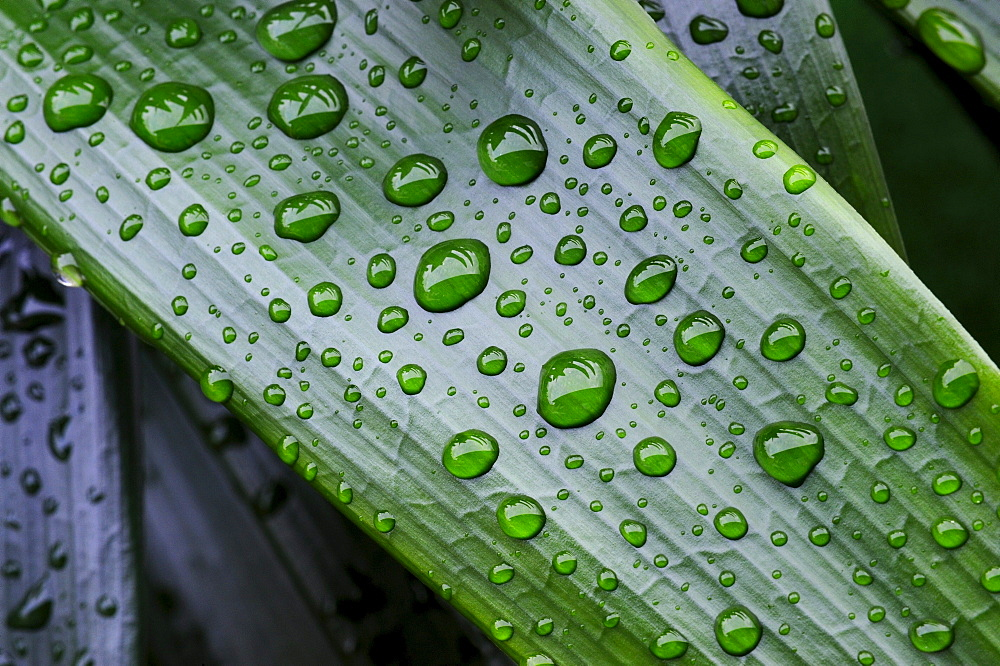 Leaves of a Kaffir Lily or Bush Lily (Clivia miniata) with water drops
