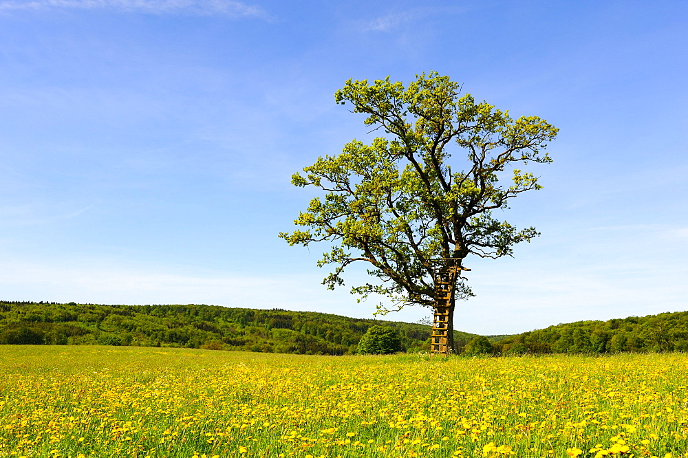 Pedunculate oak (Quercus robur) with a raised hide in spring, Swabian Mountains, Baden-Wuerttemberg, Germany, Europe