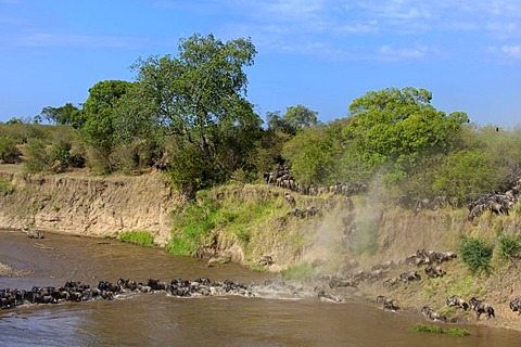 Blue Wildebeests (Connochaetes taurinus) crossing Mara River, Masai Mara National Reserve, Kenya, East Africa