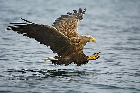 White-tailed eagle (Haliaeetus albicilla) hunting in midair