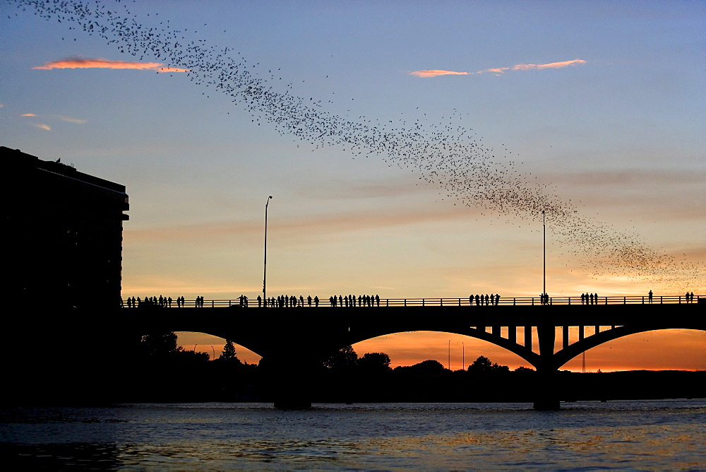 Mexican free-tailed bats (Tadarida brasiliensis) flying over a bridge, Austin, Texas, USA