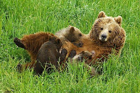 European brown bear (Ursus arctos), she-bear suckling cubs