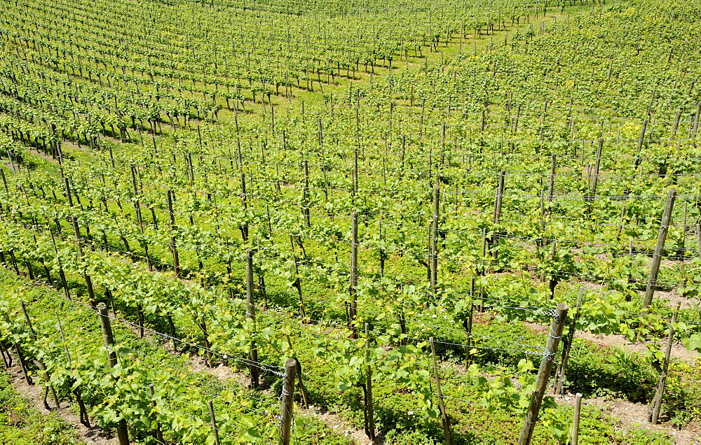 Vines, vineyard in Ueberlingen at Lake Constance, Baden-Wuerttemberg, Germany, Europe