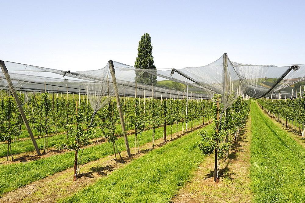 Wine-growing, vineyard near Ueberlingen at Lake Constance, Baden-Wuerttemberg, Germany, Europe
