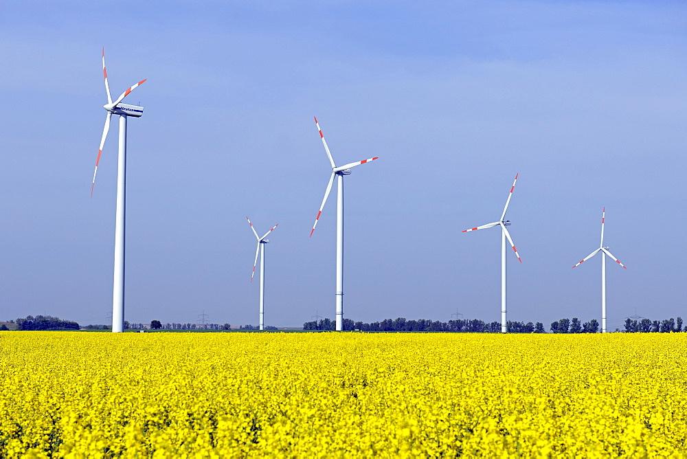 Wind turbines in canola field (Brassica napus), renewable energy