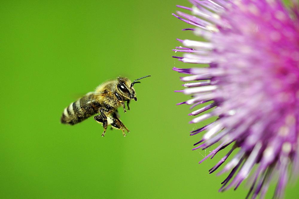 Honey bee (Apis), in flight, with a Waldstein's Thistle (Cirsium waldsteinii)