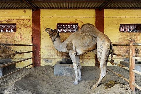 Dromedary camel (Camelus dromedarius), National Camel Research Farm, Bikaner, Rajasthan, North India, South Asia