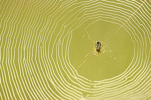 Spider web with a Cricket-bat Orb Weaver (Mangora Acalypha)