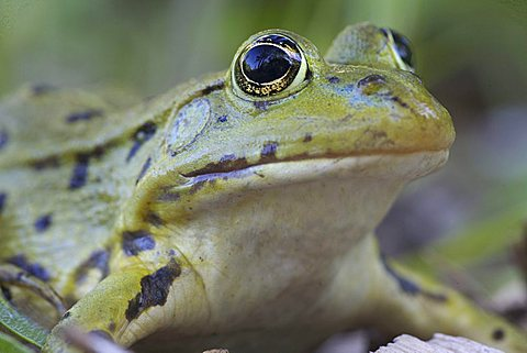 Marsh frog (Rana ridibunda) - 832-22500