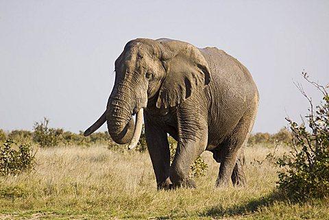 African elephant (Loxodonta africana), Moremi Game Reserve, Botswana, Africa
