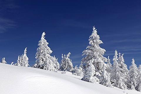 Winter landscape with snow-covered spruces near Garmisch-Partenkirchen, Werdenfelser Land, Upper Bavaria, Bavaria, Germany
