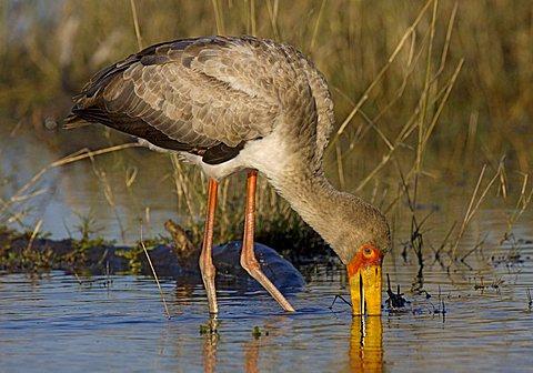 Yellow-billed Stork (Mycteria ibis), Moremi National Park, Moremi Wildlife Reserve, Okavango Delta, Botswana, Africa