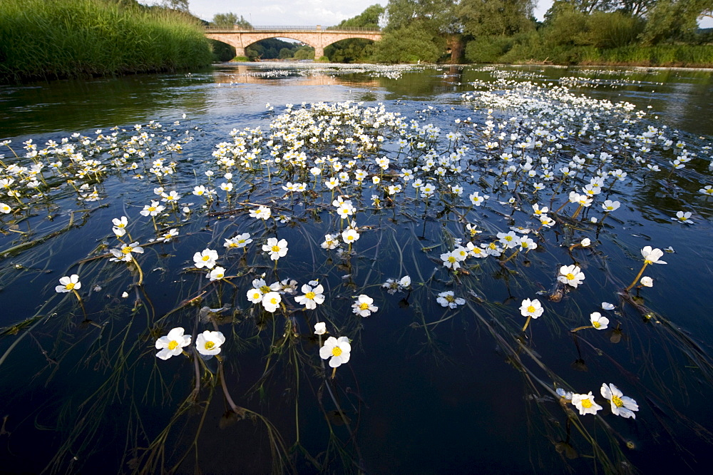 River Water Crowfoot (Ranunculus fluitans), Eder near Wolfershausen, Schwalm-Eder-Kreis, Germany, Europe