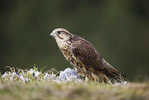 Saker falcon (Falco cherrug), plucking pidgeon, Rhineland-Palatinate, Germany, Europe