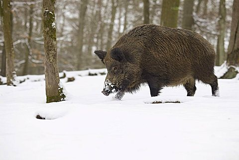 Wild boar (Sus scrofa) in winter