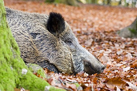 Wild boar (Sus scrofa), Wildpark Daun, Rhineland-Palatinate, Germany, Europe